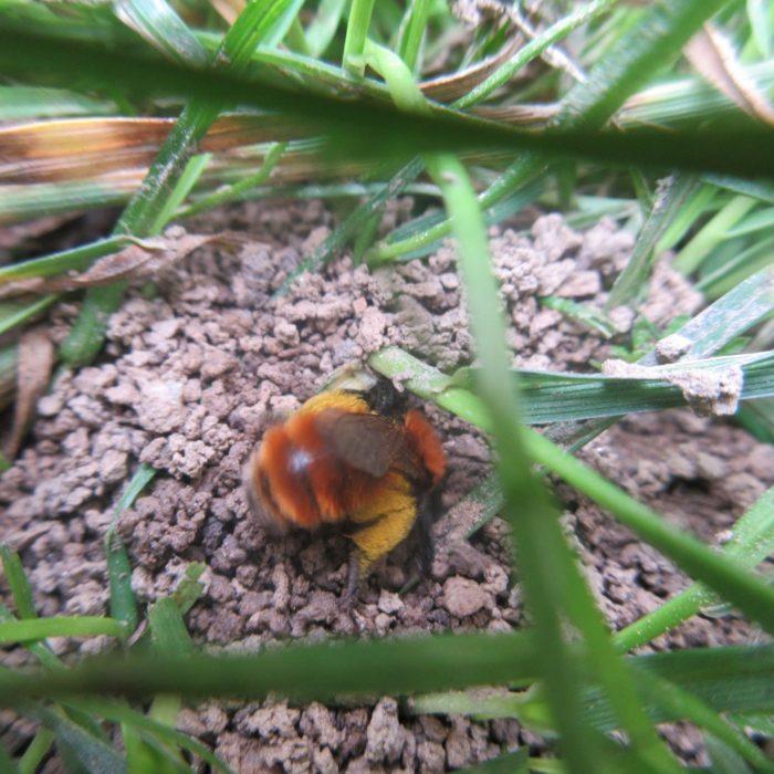 Ebenso die rotpelzige Sandbiene oder fuchsrote Lockensandbiene, wie sie auch heisst. Sie nistet  ...