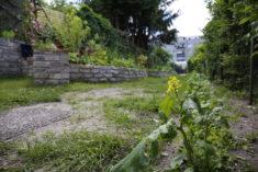 …und auch auf der anderen Seite des Weges zeigen sich im ausgesäten Schmetterlings- und Wi ...