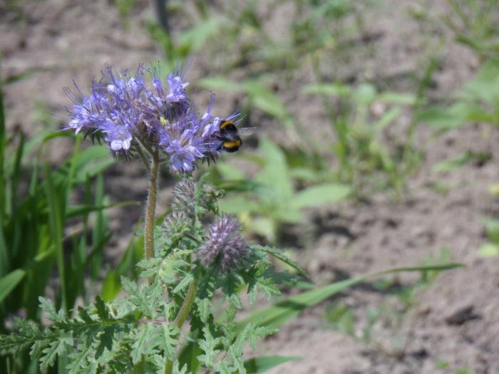 Hummelgast auf der Bienenpflanze