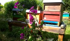Direkt am Bienenstand im Garten stehen jetzt die Malven in voller Blüte.