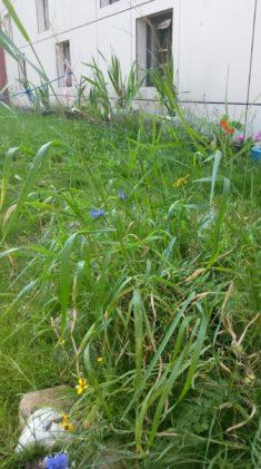 Die Wildblumenwiesen dienen den Hummeln als alternative Futterquelle zur Silberlinde, unter der  ...