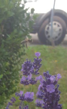 Vorm Wagen vor mir fliegt ein flottes Bienchen…