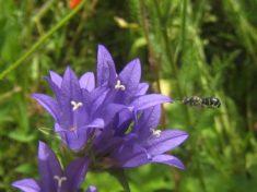 Glockenblumen für spezialisierte Wildbienen ;-)