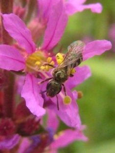 gewöhnlicher Blutweiderich für Wildbiene & Co ;-)