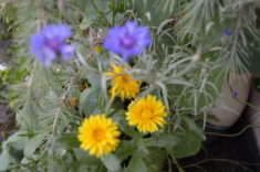 Ringelblumen und Kornblumen