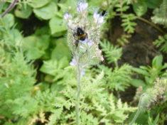 Diese Blüten werden jedenfalls gut angenommen. (15.07.´17)