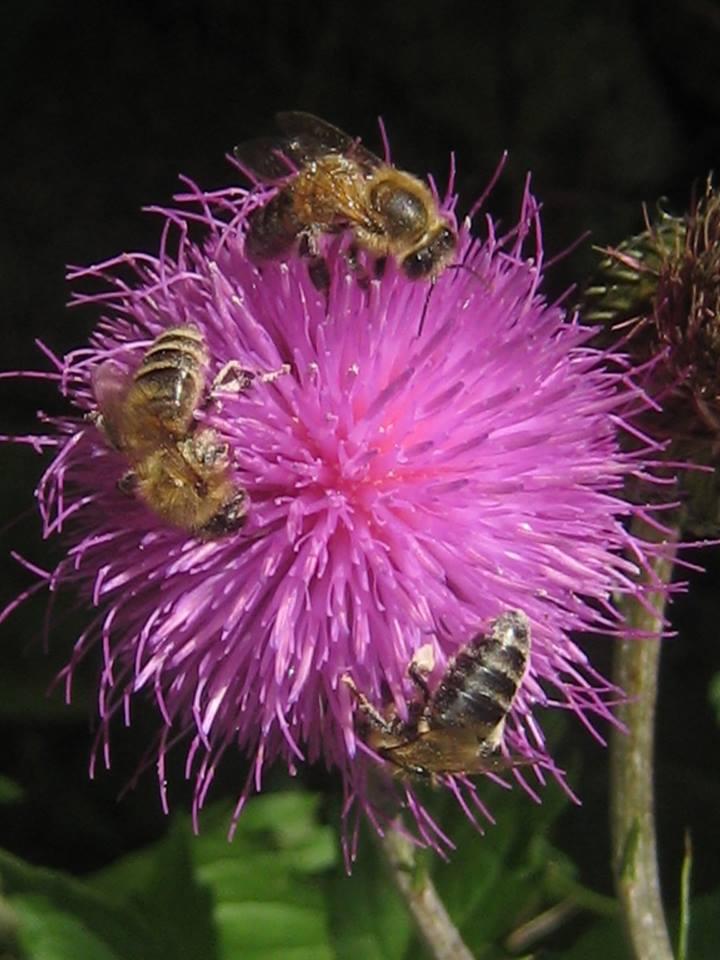graue Distel zur Freude aller Insekten ;-)
