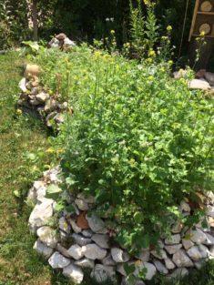 Hotspot- Steinbeet blüht. Hummeln, Bienen, Schmetterlinge lieben