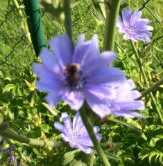 Biene auf Wegwarte