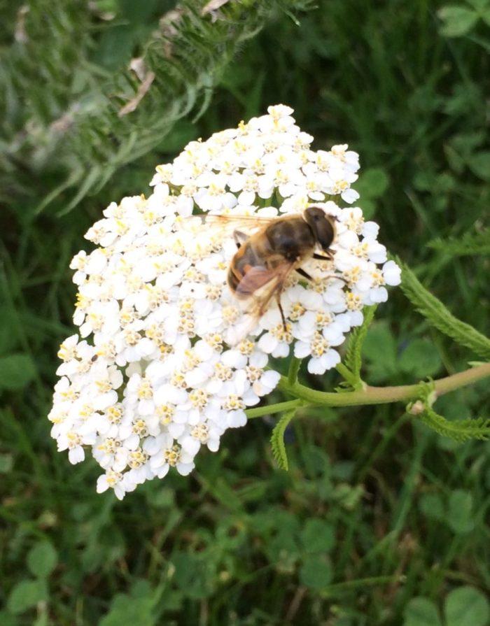 Wildbiene auf Scharfgabe