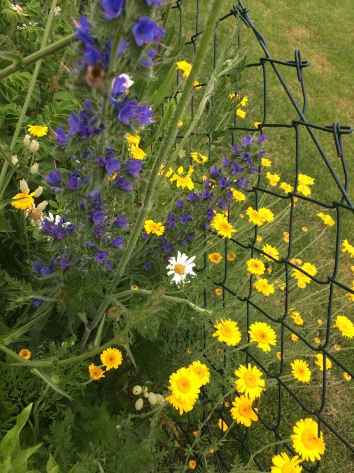 Färberkamille und Natternkopf, der ist sehr beliebt bei Hummel und Biene