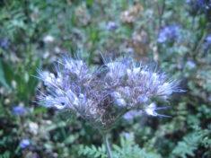 Auch die Phacelia (Bienenweide) ist schon in Blüte….aber vom Wuchs sehr klein geblieben.