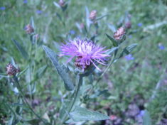 Flockenblumen locken Insekten an die aber schwer zu fotografieren sind