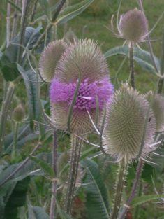Tipp Juli: Die Wilde Karde – eine fleischfressende Pflanze ?