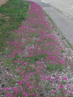Blumengruß: erste Blüte – das Nelken-Leimkraut