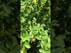 Insektenmagnet: Berberitze im Naturgarten – YouTube
