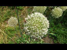 Insektenmagnet 1 Lauchpflanzen ??? – Was sind Insektenmagnete?