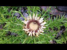 Insektenmagnet 2: Silberdistel – oder Disteln allgemein