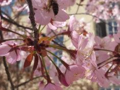 Kirschblüte und Wildbienen im Schulhof (+Video) – karlsbienen