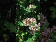 Insektenmagnet 3: Majoran in meinem Naturgarten ?