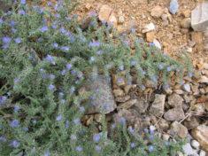 Hier blüht der Natternkopf auf magerem Boden