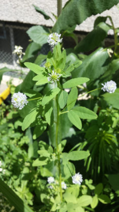 Perlen des Hochbeets – karlsbienen