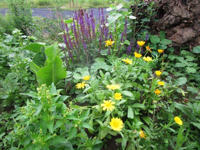 Salbei und Ringelblumen blühen vor einer Wurzel