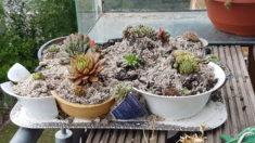 Sempervivum eingepflanzt