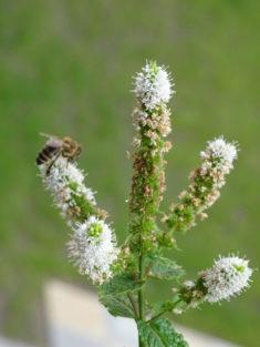 Bienenbesuch…