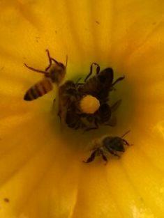 Ein Bienenbad in der Kürbisblüte