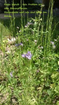 Bienenkreis der Lein blüht Juni