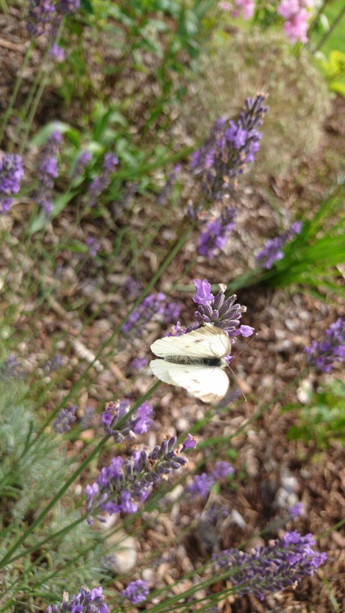 Weißlich an Lavendel