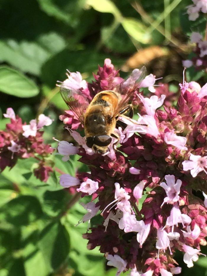 Biene auf Dost