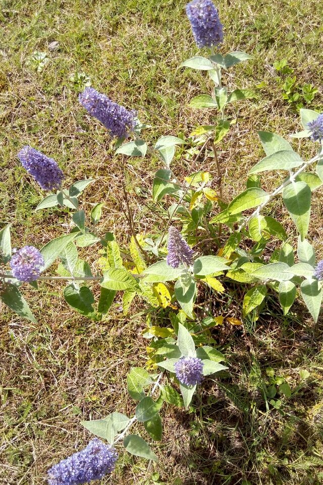 Schmetterlingsflieder in voller Blüte