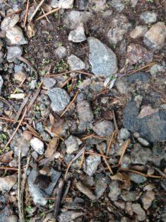 Im eigenen Garten – Berg-Sandglöckchen: Keimt schon !