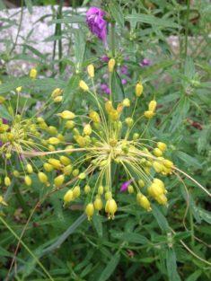 Protagonist 1: Der Goldlauch – Blütezeit: 6-8