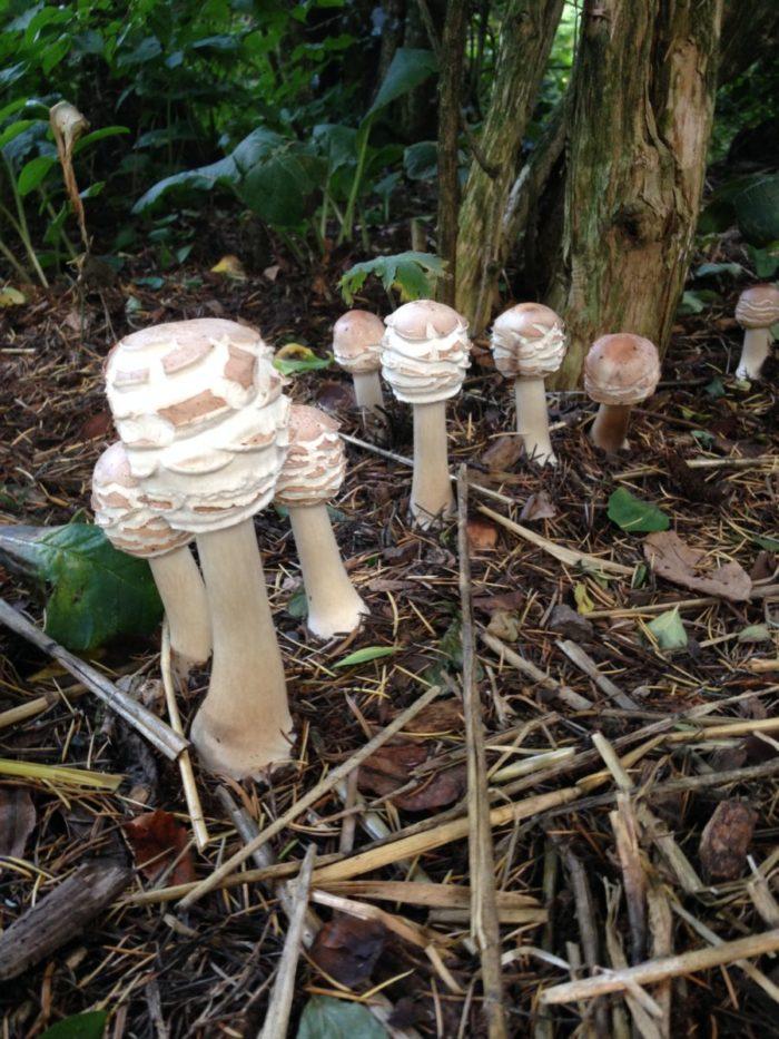 Tipp August: Pilze im Garten, diesmal der Safran-Riesenschirmling oder Garten-Riesenschirmling