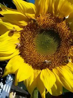 Eine Bienenoase mitten im Ort