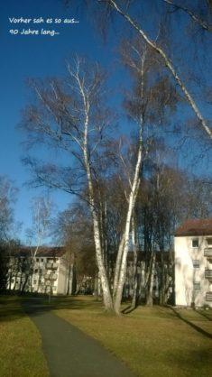 Birken sind mit 300 bis 500 Insekten Arten einer der wichtigen Bäume. Blühende Bäume sind extrem ...