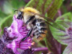 Biene sitzt auf einer Basilikumpfanze