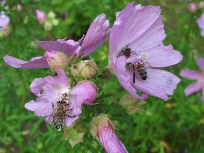 Zwei Bienen in einer Malvenpflanze