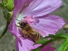 Die Biene mit den Pollen sitzt in der Malve