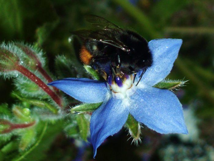 Die Biene liebt Borretsch