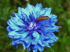 Ein Käfer sitzt auf der Kornblume