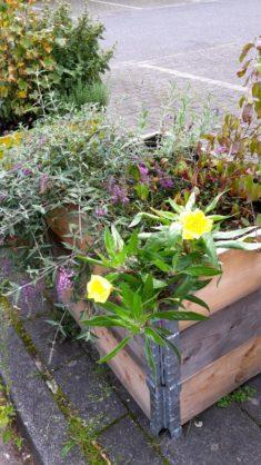 17. Mitte September: Nachtkerze (gelb, im Vordergrund), Flieder, Lavendel