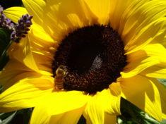 Sonnenblumenbesuch…