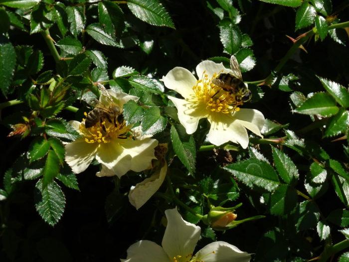 Doppelter Besuch auf der ungefüllten Rose