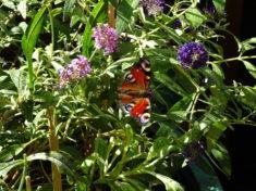 Schmetterling auf der Buddleja