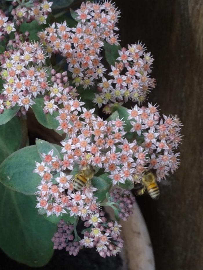 2 Bienen auf der blühenden Fetthenne…