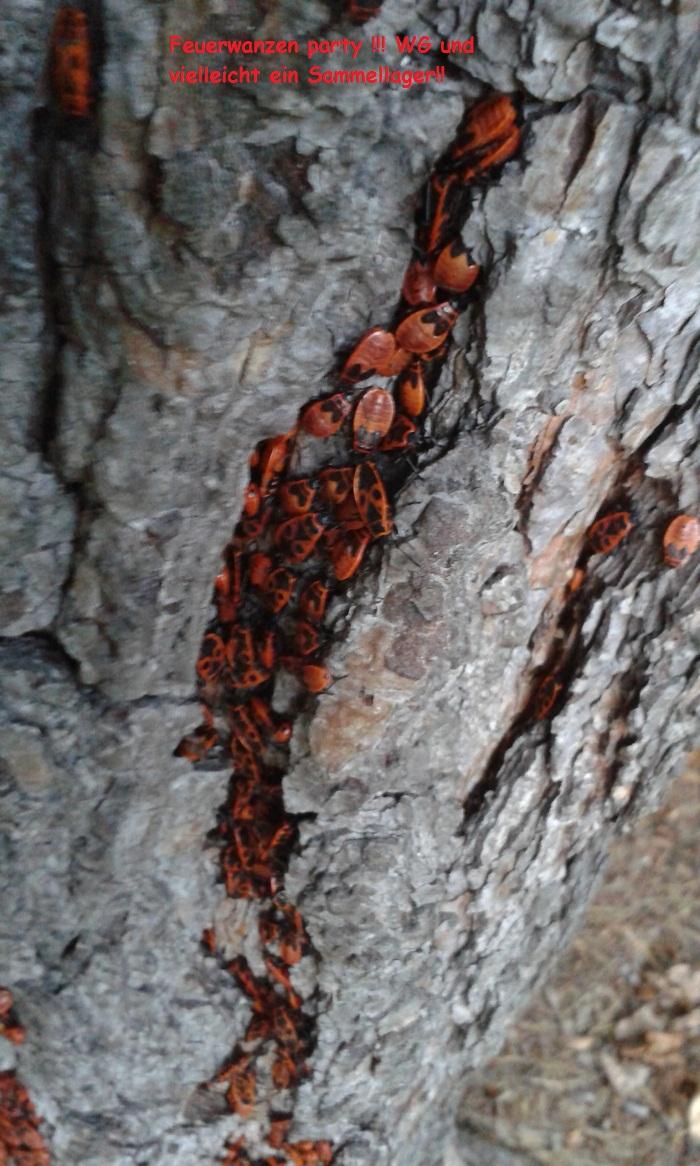 Alte Bäume sind für alle Insekten super ! Hier als Schlafgemeinschaft!